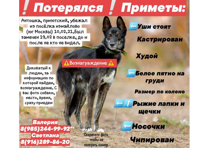 ПРОПАЛ пёс Антошка П.Измайлово,Ленинский район,МО