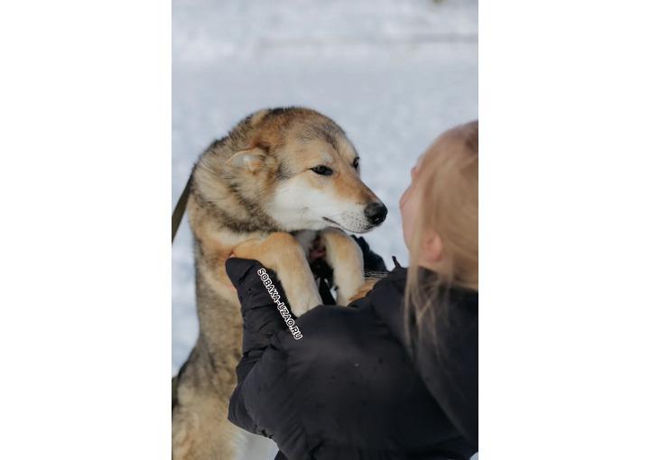 Ласковая Гроза- Волкособ, 11 мес