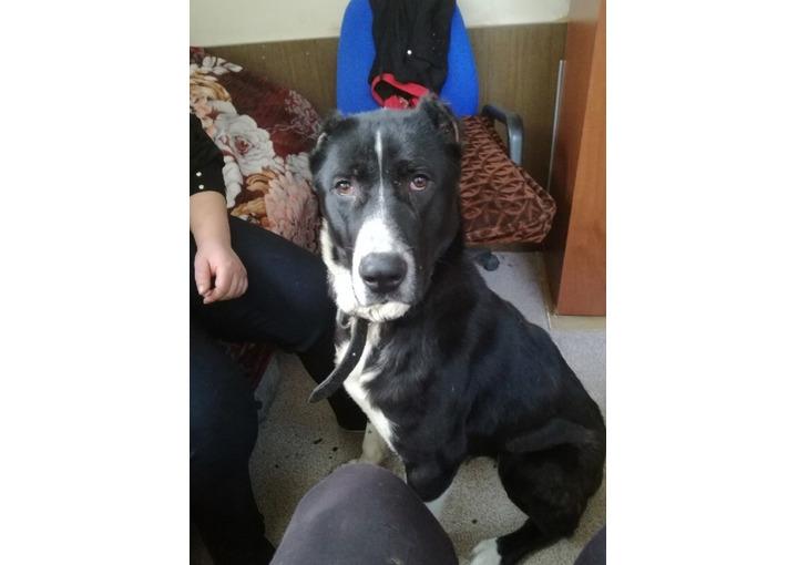 Пропала собака породы алабай 1,5 года