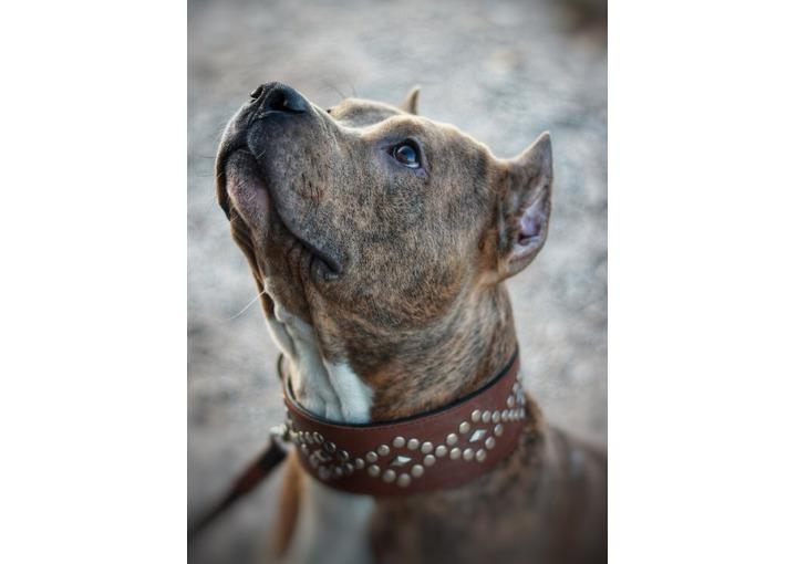 Ищет дом замечательный пёс Тайсон. Американский стаффордширский терьер.
