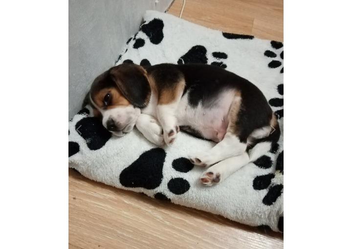 У нас пропала собака, щенок бигль 3,5 месяца.