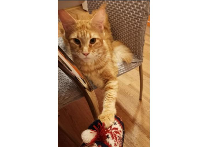 Отдам кошку мейн-кун в хорошие руки