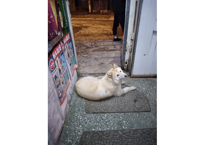 Замечена собака, хаски (Первоуральск, Свердловская область)